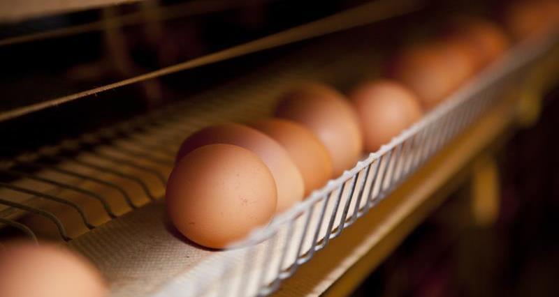Duncan Priestner - caged chickens_20772