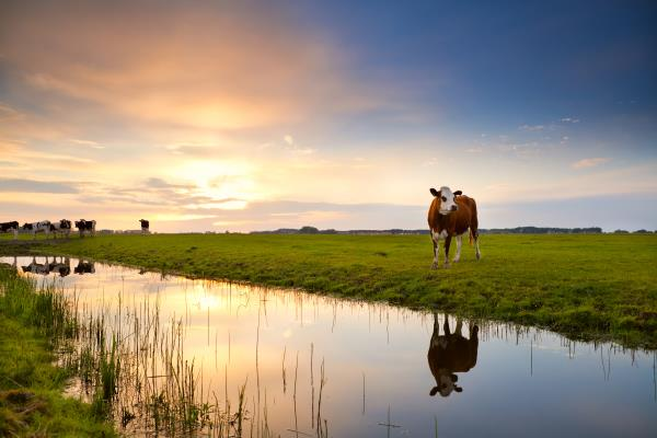 Cow by river_20003