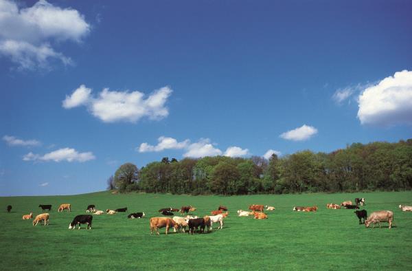 Cows in field_7703