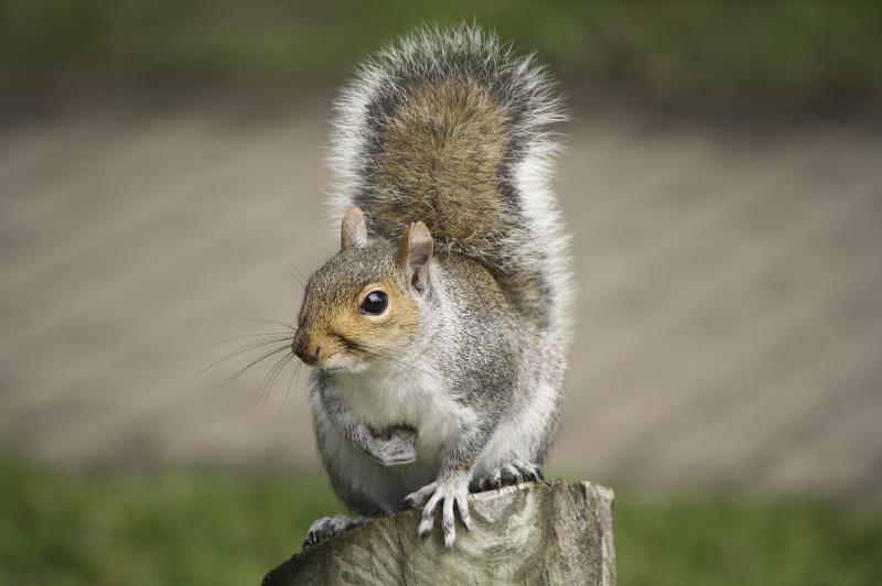 Grey squirrel_13122