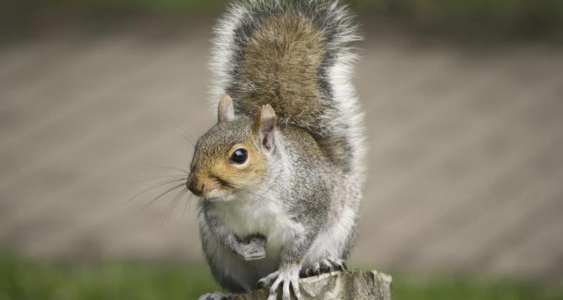 Grey squirrel_13122