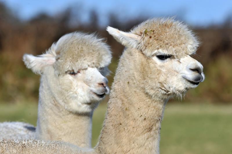Dianne Summers' alpacas_14503