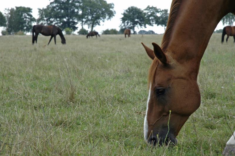 Horses grazing_3720