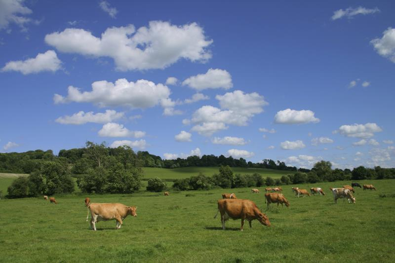 Cows grazing, the Chilterns_7506