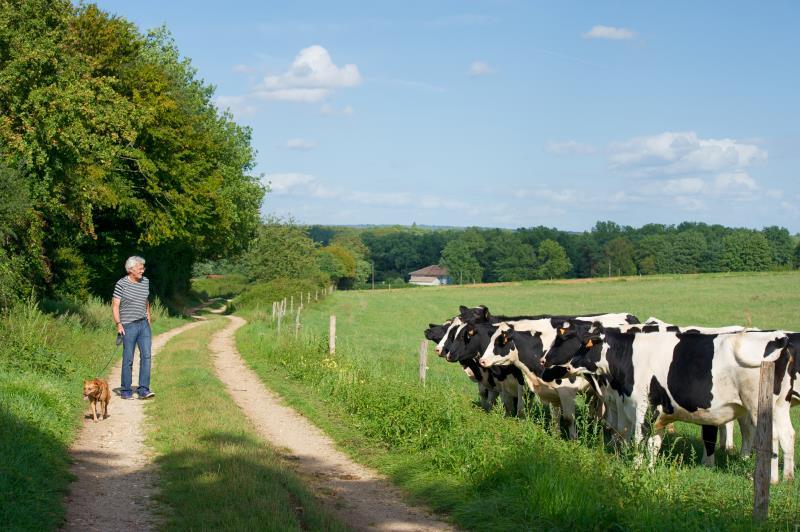 Dog walker near cows_18543