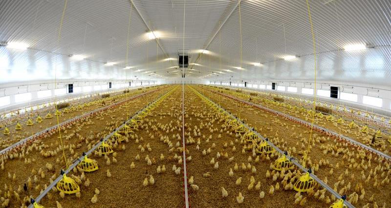 Better Chicken Commitment analysis: Increased costs but limited improvement in bird welfare