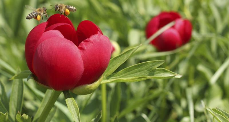 Bees on red peony_15982