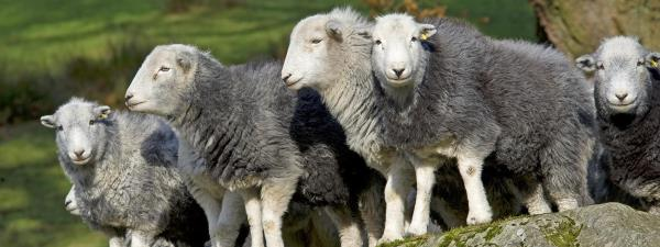 Herdwicks are a traditional Cumbrian breed of sheep which play a vital role in delivering the unique farmed landscape of the world-famous Lake District