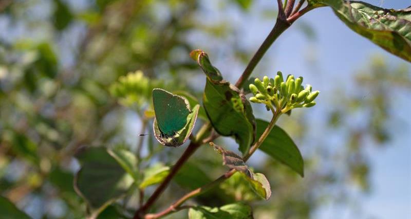 Green Hairstreak Butterfly_74484