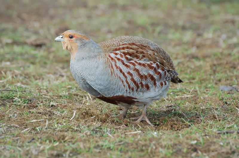 Provide ryegrass seed for birds
