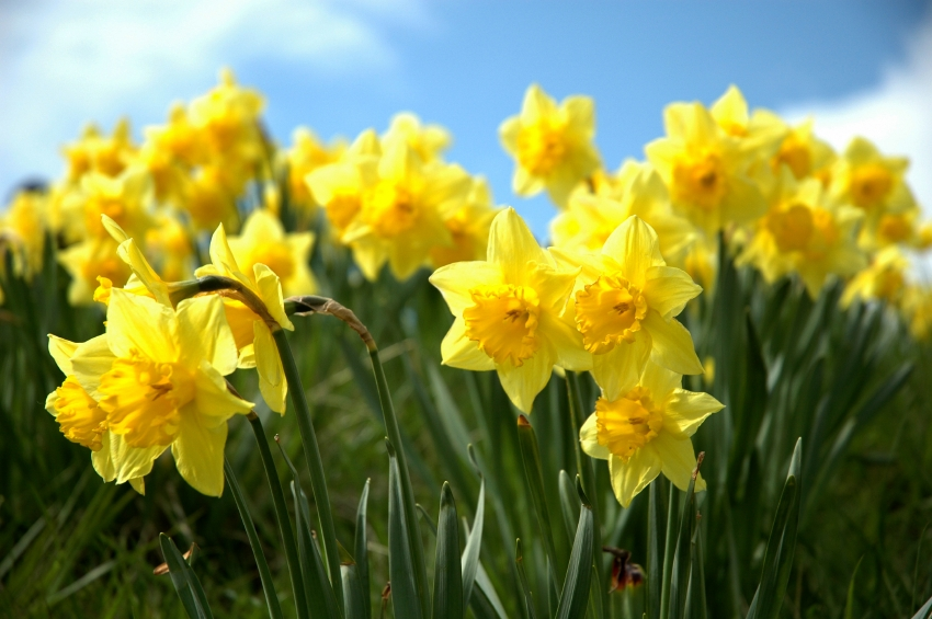 T&M daffs - blog