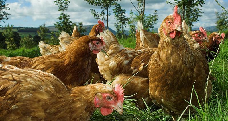 Poultryhereforyou_44880