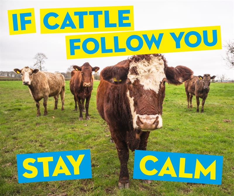 If cattle follow you stay calm social media_65410