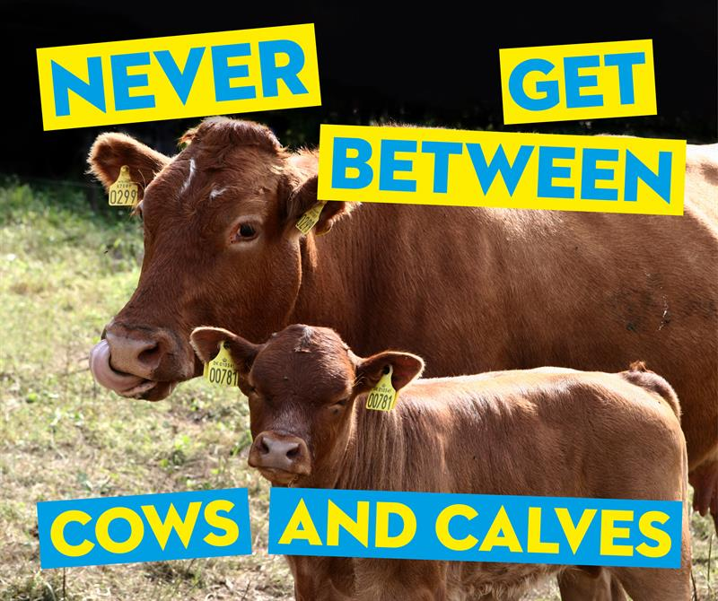 Never get between cows and calves social media_65409