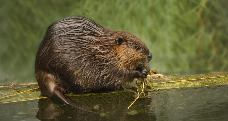 Eurasian Beaver_43851