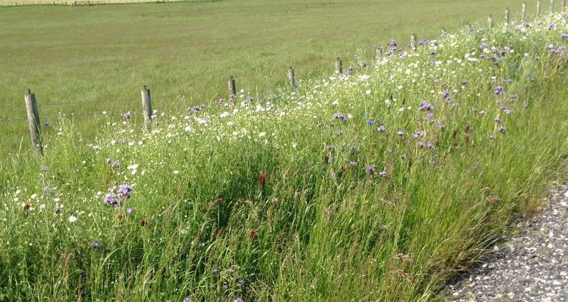 Field margins supporting pollinators_51249