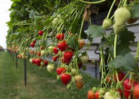 Strawberry plants at Annabels_67138