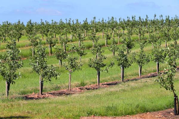 Apple orchard, Herefordshire_44295