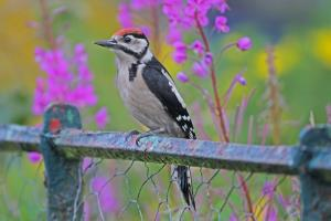 Great spotted woodpecker_51129