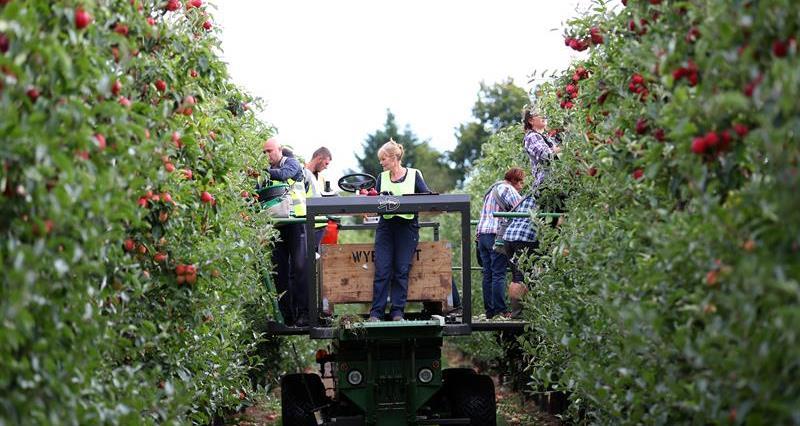 Apple harvest Ali Capper farm September 18_60270