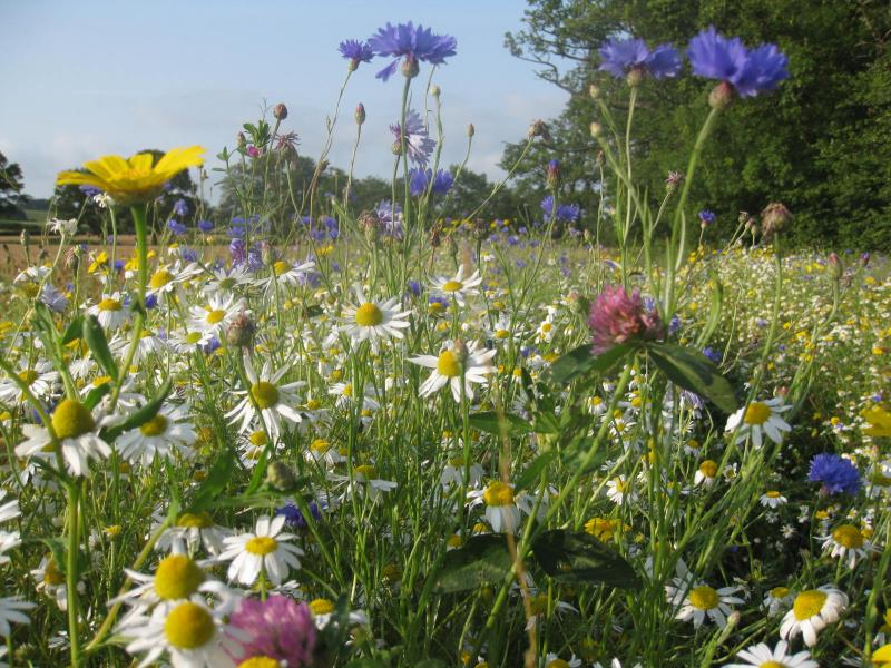 Field margins supporting pollinators_51298