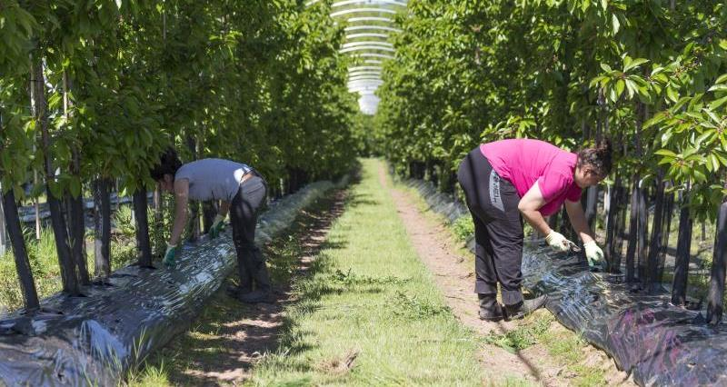 Workers Cherry trees_55015