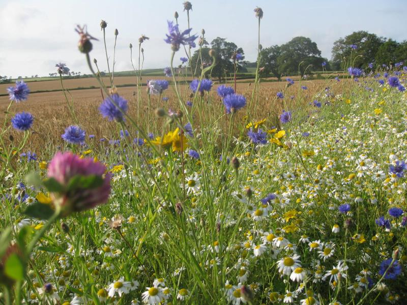 Field margins supporting pollinators_51299