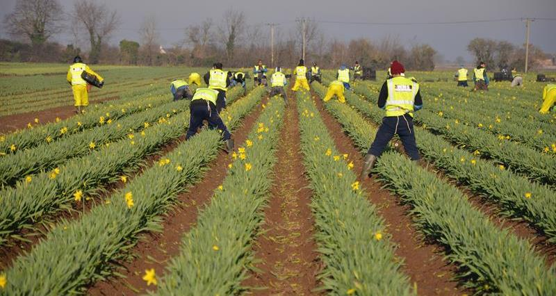 Workers at Taylors Bulbs Holbeach Lincolnshire_65637