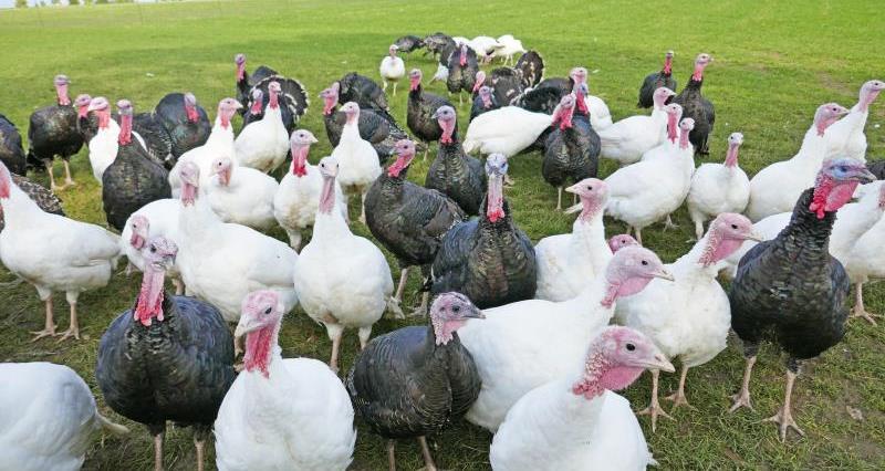 Free range turkeys at smallholding_53752
