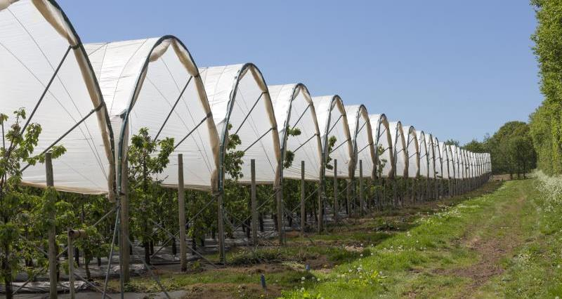 Polytunnels cherry tree orchard_55025