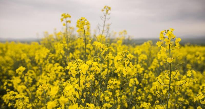 Oilseed rape_35751