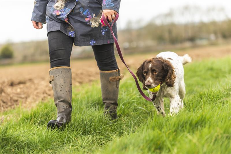 Walking dog on lead through farmland_63889
