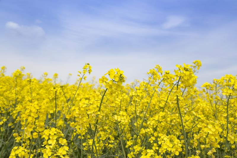 Oilseed rape field James Cox_56163