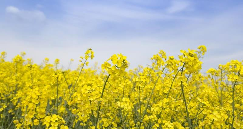 REMINDER: Oilseed rape farmers needed for study on neonicotinoid restrictions