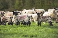 Lambs and ewes on farm_63858