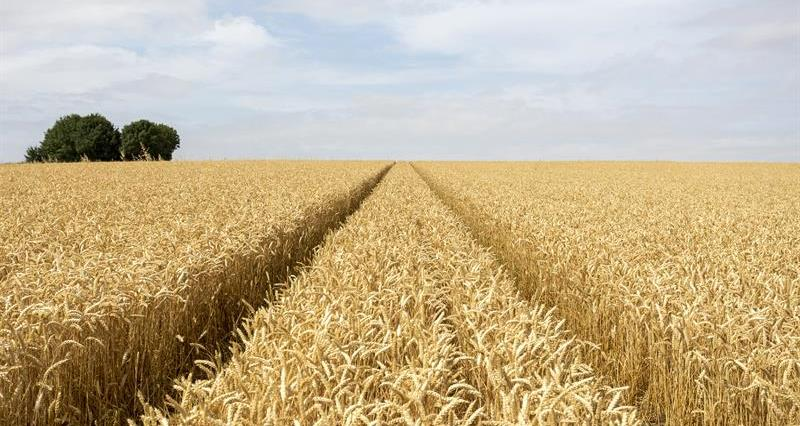 Wheat field Cambridgeshire_64328
