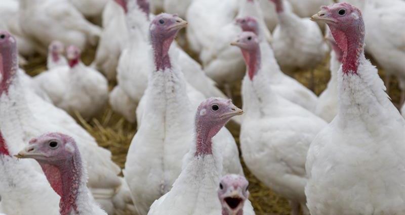 Turkeys Peach Croft Farm_64541