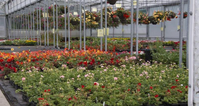 Updated list of GM petunias found in UK removed from sale
