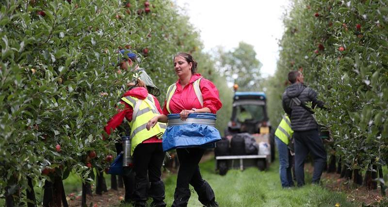 Apple harvest Ali Capper farm September 18_60268
