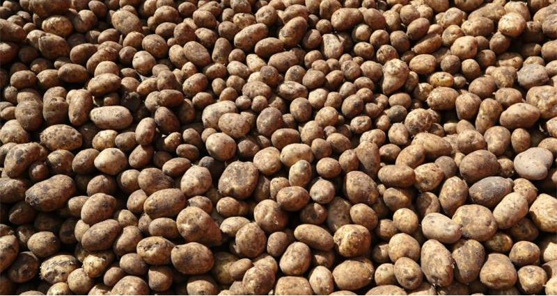 AHDB Potatoes planting declarations now online only