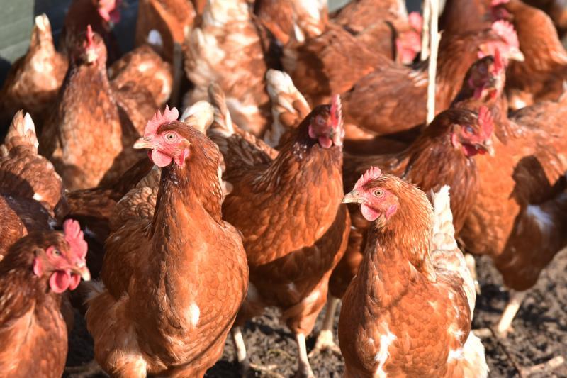 Free range chickens smallholding_53778