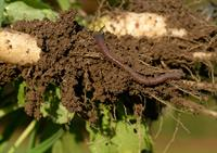 Worm in soil Poul Hovesen farm_59882