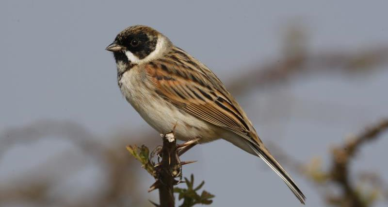 Reed bunting_51187