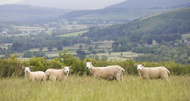Sheep Shropshire landscape_56314