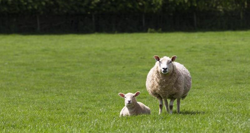 Coronavirus: Impact on the lamb market