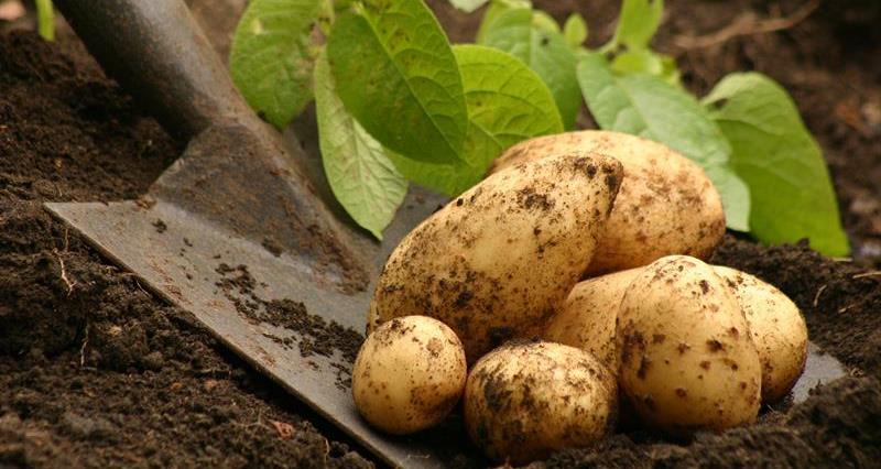 Potatoes_64263