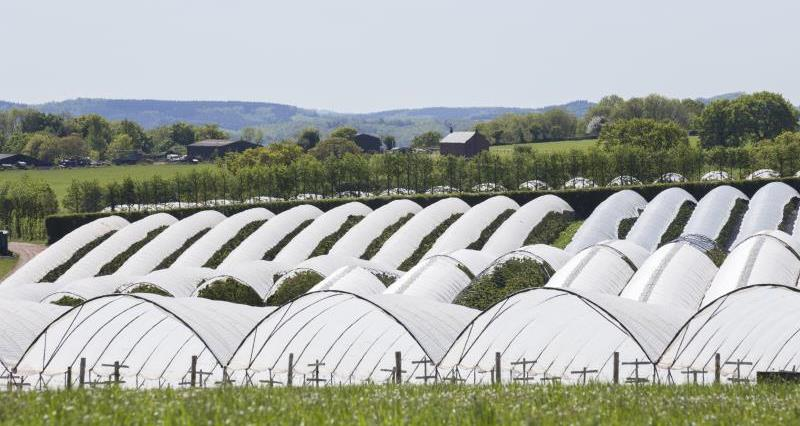 Polytunnels cherry tree orchard_55004