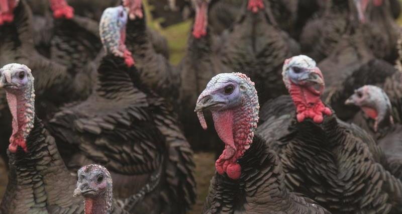 Turkeys Peach Croft Farm_64525