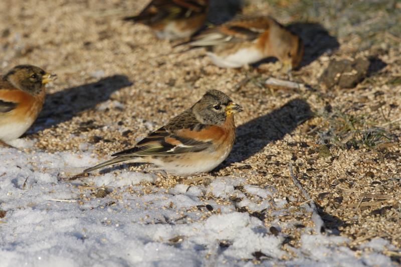 Supplementary winter feeding for farmland birds