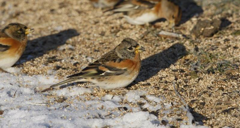 Supplementary winter feeding for farmland birds